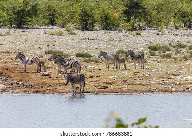 Herde Steppenzebra, Etosha Nationalpark, Namibia, herd of plains zebra (Burchells zebra), Etosha national park, Namibia