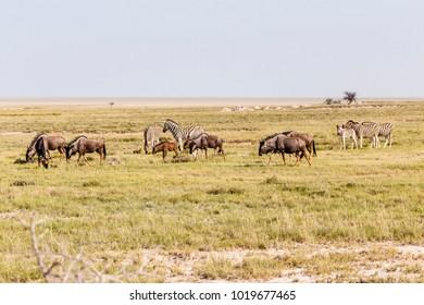 Herde Steppenzebras und Streifengnus in Etosha Nationalpark, Namibia, Herd plains zebras and blue wildebeest, Etosha National Park, Namibia