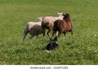 Herding Dog Behind Three Sheep (Ovis aries) - at sheep dog herding trials