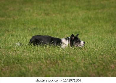Herding Dog Lies in Grass - at stock dog herding trials