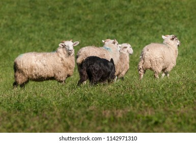 Herding Dog Move Up on Sheep (Ovis aries) - at sheep dog herding trials