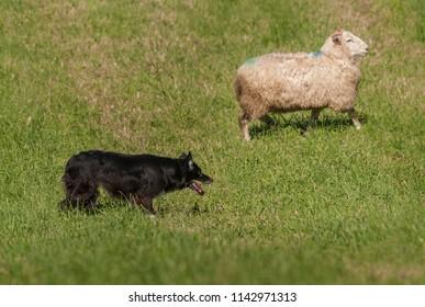 Herding Dog and Single Sheep (Ovis aries) - at sheep dog herding trial