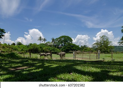 herds of asian water buffalo in countryside over blue sky background at sunny day.selective focus shot