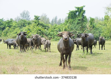 herds of buffalo in the countryside, thailand
