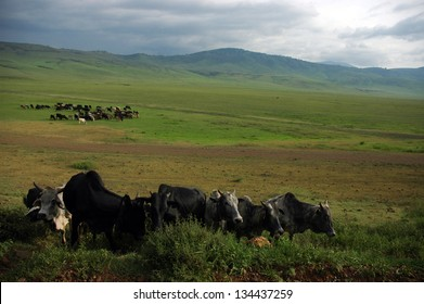 Herds of cattle grazing before a rainstorm