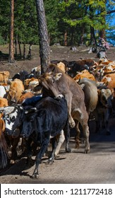 Herds changing from summer pasture to winter pasture in Xinjiang, Chins. Herds of cattle's and sheep are driven by herdsmen.