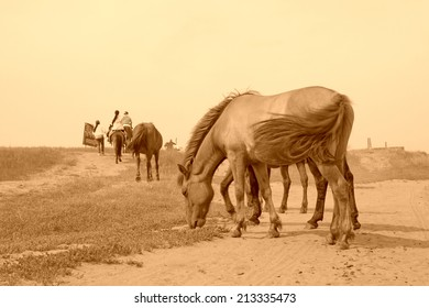 herds of horses grazing in the WuLanBuTong grassland, Inner Mongolia autonomous region, China.