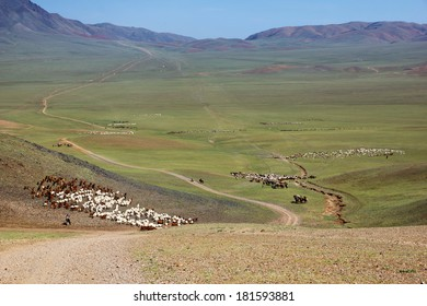 Herds of sheep migrate to a new pasture in Mongolia