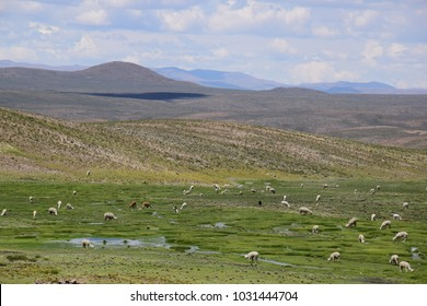 Herds of Vicuna and Alpacas in the Arequipa region on the way to the Colca Canyon in Peru