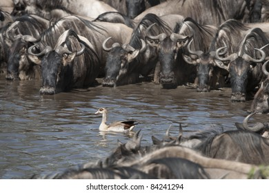 Herds of wildebeest and bird at the Serengeti National Park, Tanzania, Africa
