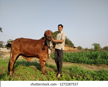 Herdsman taking care of gir cow at Bhavnagar, Gujarat India on February 23, 2018