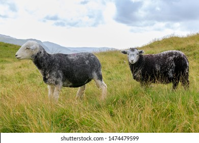 The Herdwick is a breed of domestic sheep native to the Lake District of Cumbria in North West England.  Beatrix Potter is known to have been one of the saviours of this breed.