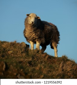 Herdwick sheep above Grasmere in the evening light