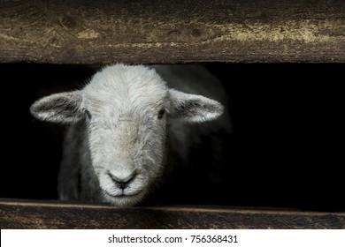 Herdwick sheep looking out of a barn between two fence railings looking very cute