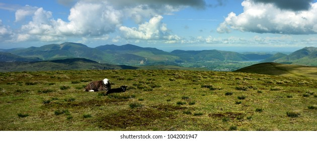 Herdwick sheep on the summit of Stybarrow