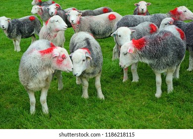 Herdwick Sheep resting in a pasture before being taken to be dipped to remove parasites from their wool and body, Grasmere, The Lake District, Cumbria, UK