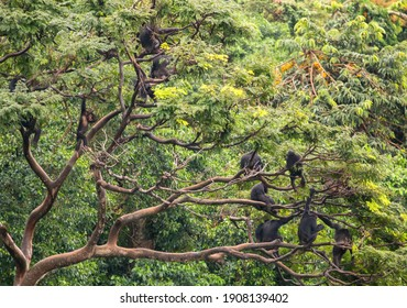 Here, a large chimpanzee sub-group rests and observes the nearby waters edge  from the tree canopy, often making distress calls informing other members of the group.