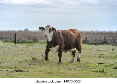 Hereford and brafords argentinian cattle, the best meat cattle in the world.