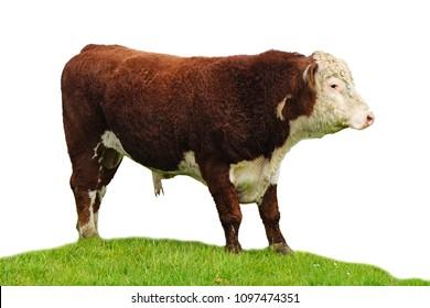 Hereford bull  .