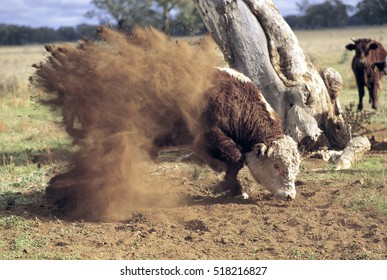 Hereford bull about to charge.