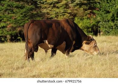 Hereford Bull Grazing