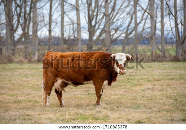 Hereford Cattle in field, deciduous tree line backdrop