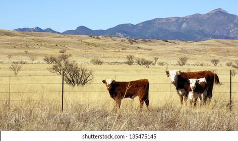 Hereford cattle graze in the open prairie