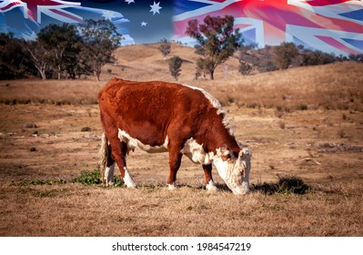 Hereford cattle graze outback with flags of Australia and Union Jack in background. UK-Australian trade deal raises fears among British farmers that they cannot compete with Australian beef imports.