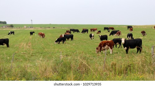 Hereford Cattle in the Pasture