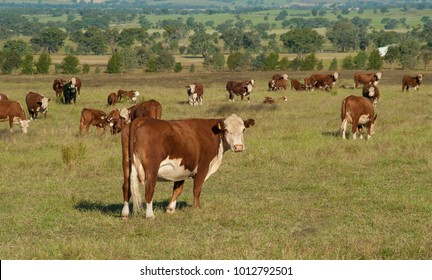 Hereford cattle, standing alone from the rest in tall grass in NSW Australia.