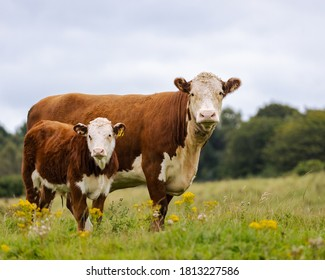 Hereford Cow and her Calve