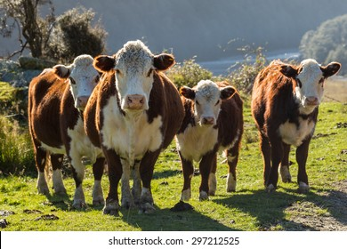 Hereford Cows and calf in Pasture at Sunset