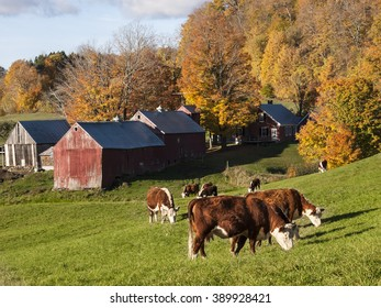 Hereford Cows Grazing on an Old Farm near Woodstock, Vermont