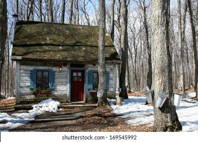 Heritage cottage with pails on maple trees to collect sap for maple syrup