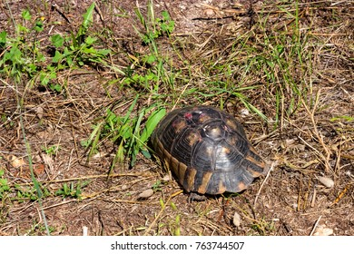 Hermann's turtle or Testudo hermanni on ground