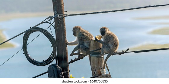 Hermanus, Western Cape, South Africa. Dec 2019.  Two Vervet monkeys eating  and playing near an electricity junction box on a telegraph pole on top of  a telegraph pole