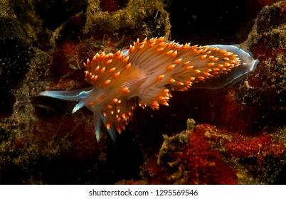 Hermissenda opalescent nudibranch