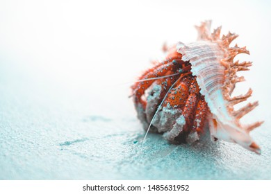 The hermit crab in the big white shells on the beach