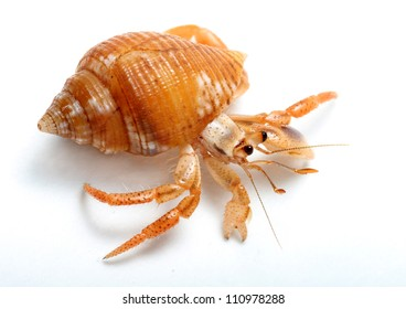 Hermit Crab from Caribbean Sea  isolated on white background