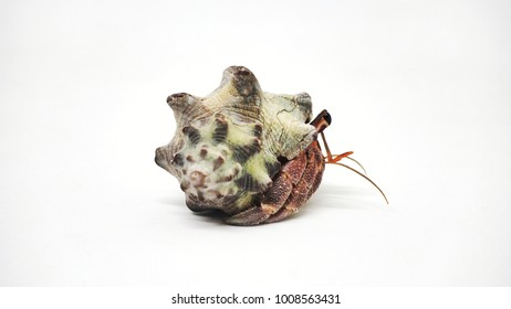 Hermit crab at the center of image on white background