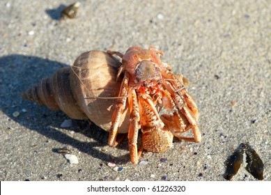 Hermit crab in its conch on the sand