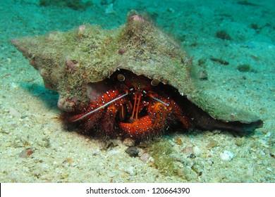 Hermit crab  (decapod crustaceans)