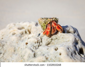 Hermit crab emerges from his shell on a beach in British Virgin Islands
