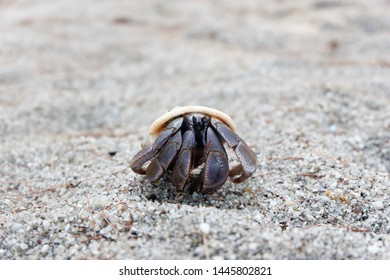 Hermit crab grows in size, it must find a larger shell and abandon the previous one. Several hermit crab species, both terrestrial and marine, in adang island Thailand
