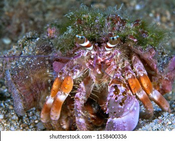 Hermit crab inside shell decorated with tunicates, coral and other reef elements.