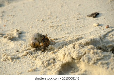 Hermit crab (lat. Paguroidea) Hermit crab (lat. Paguroidea) runs on the sand with direct sunrise at the lipe. Thailand