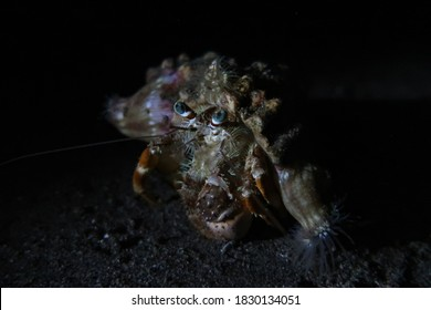 A hermit crab observing the night divers