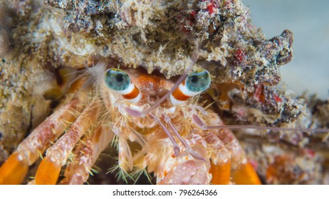 Hermit crab portrait showing detailed face and eyes