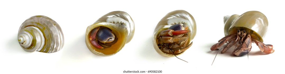 hermit crab sequence in and out of the shell, stages,