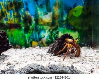 Hermit crab in shell. Dardanus megistos or white-spotted hermit crab in aquarium